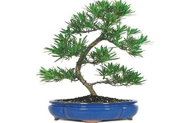 tuổi Nhâm Tý hợp cây gì? cây Tùng La Hán